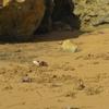 Mauritanie Banc d'Arguin Cap Tagarit crabe violoniste