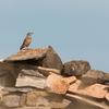 Monticole des roches 23 août 2017 Majones (Aragon) © Jaime Crespo