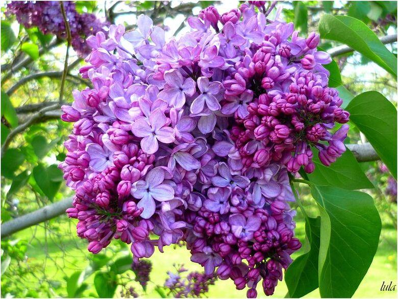 Vive les Lilas en Fleurs
