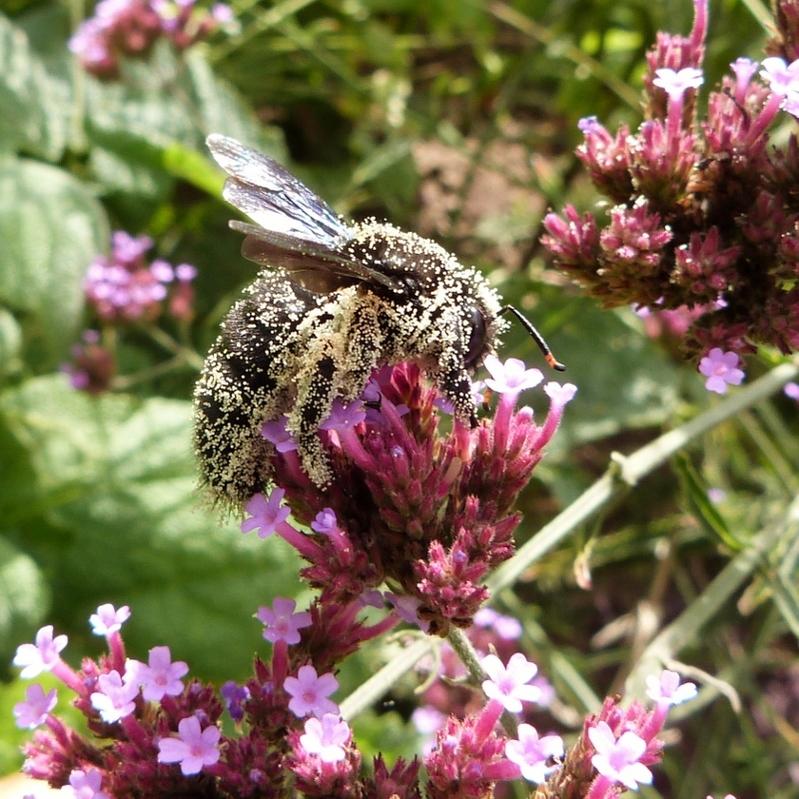 Silence, je pollinise...abeille charpentière couverte de pollen