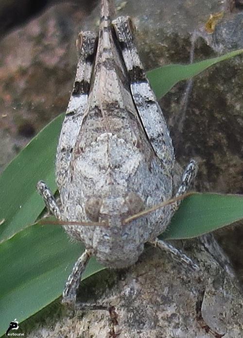 criquet à ailes bleues Oedipoda caerulescens