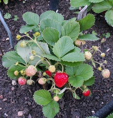 """Roulé """"aux fraises"""" ..."""