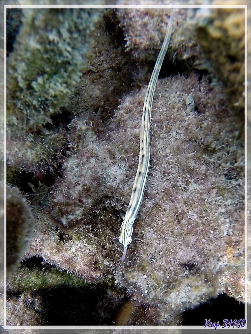 Syngnathe de Schultz, Poisson-pipe annelé, Guilded pipefish (Corythoichthys schultzi) - Moofushi - Atoll d'Ari - Maldives