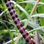 Un vrai sucre ! Une plante aux mille vertus ! Photo : Caro