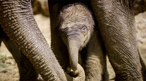 Naissance d'un éléphanteau à Pairi Daiza