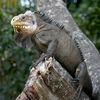 Tête d'Iguane antillais (Iguana delicatissima).