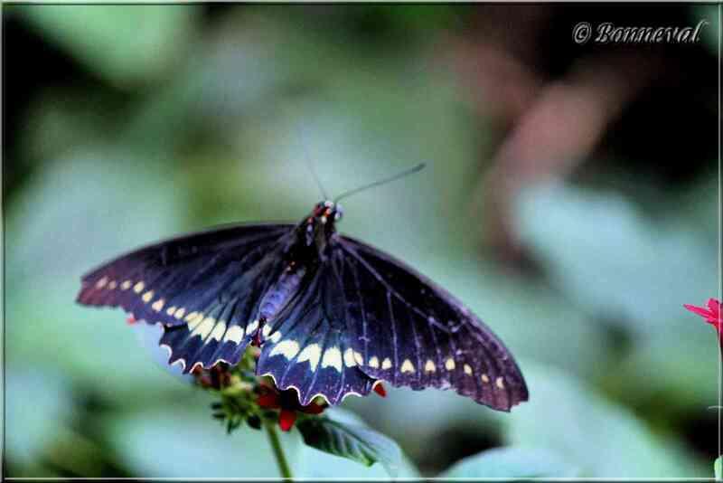 Papillons tropicaux Battus polydamas