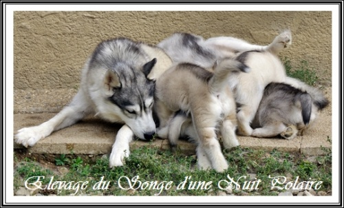 Chiots Huskys Groupe (42j)