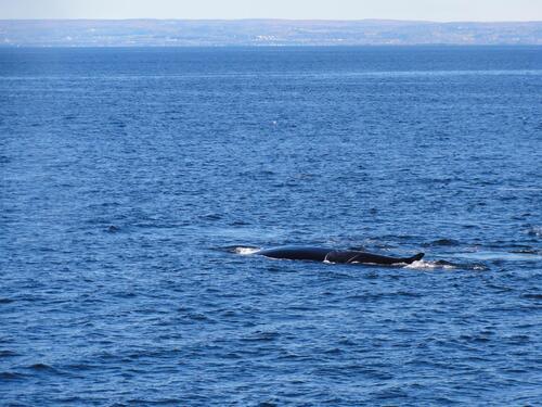 Croisière sur la Saint-Laurent à Tadoussac : baleines en vue !