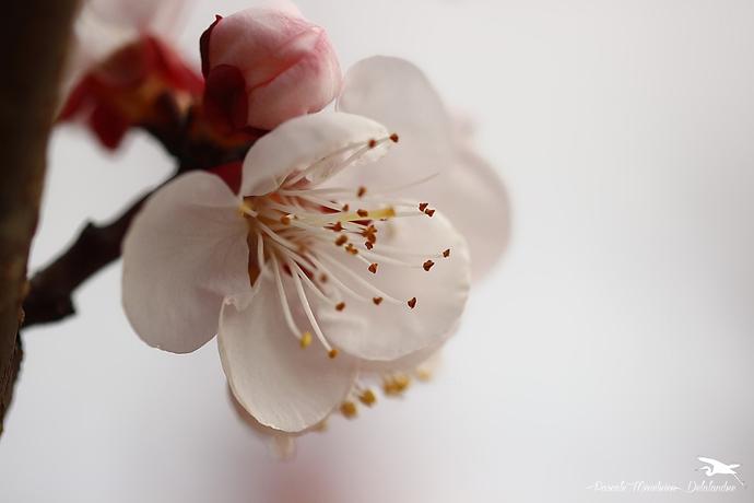 Fleurs de pommiers...