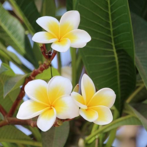 Fleurs du Laos