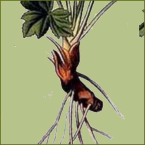 Vertus médicinales des plantes sauvages : Sanicle d'Europe