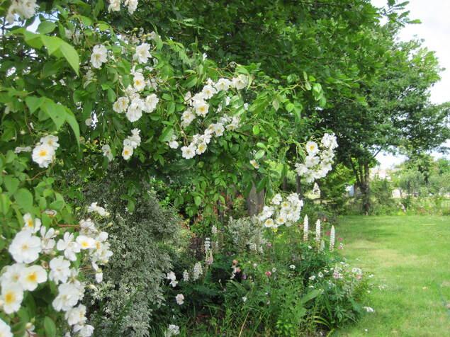 La pleine floraison du rosier-liane ' Bobby James '