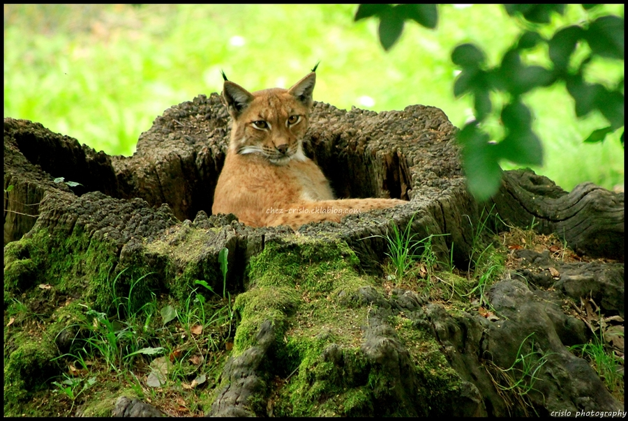 lynx attitudes