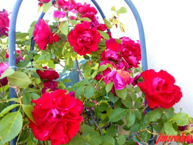 La rose au VIème et IVème et déjà son histoire