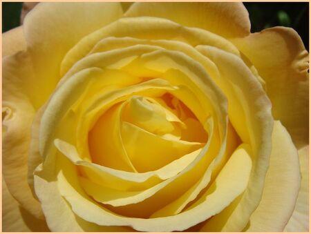 Rose_jardin_2010__5_