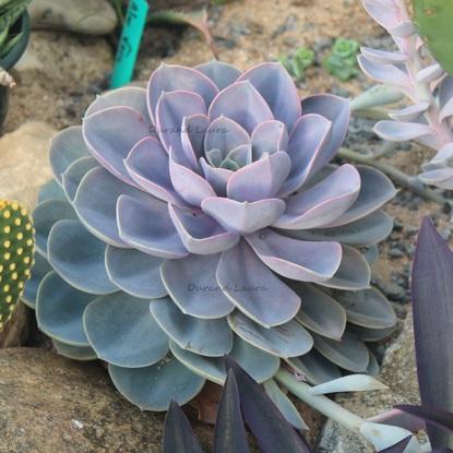 Echeveria cv.Perle von nurnberg