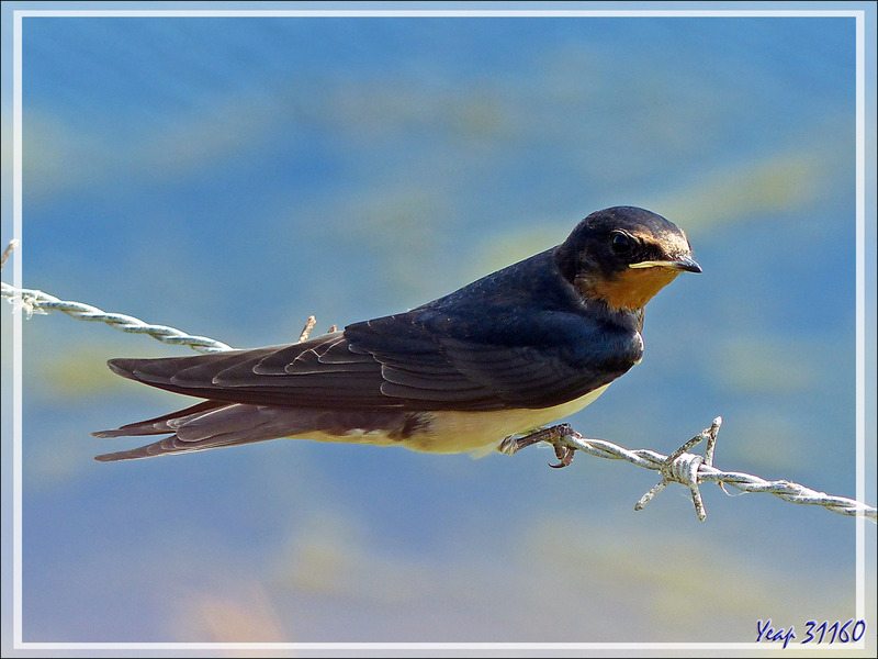 Hirondelle rustique, Barn Swallow (Hirundo rustica) - La Couarde-sur-Mer - Ile de Ré - 17
