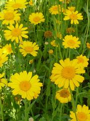 Marguerite dorée fleur