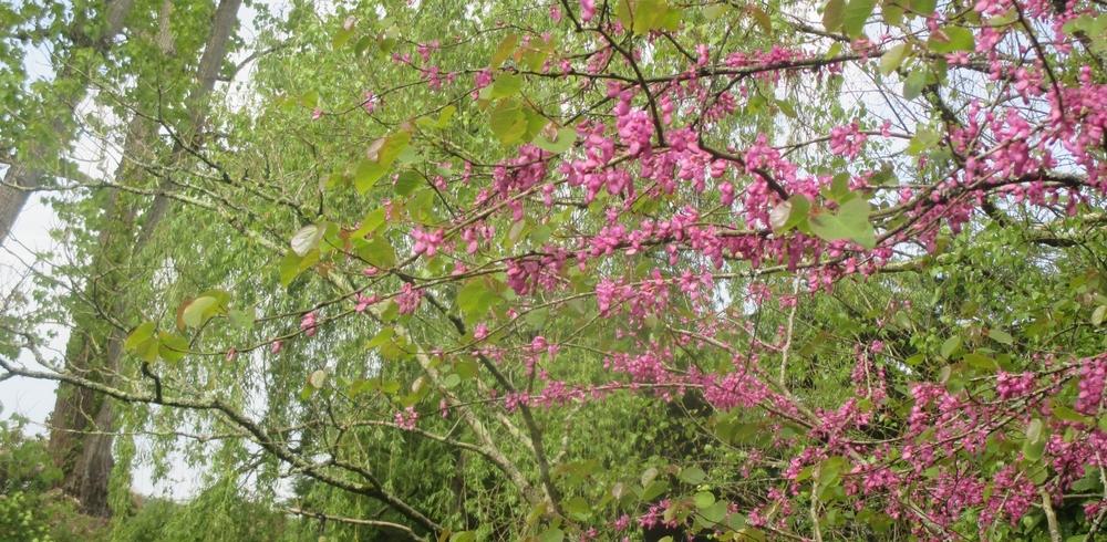 Début de printemps dans le 'ti jardin