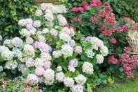 Arbres et arbustes - Comment planter un hortensia
