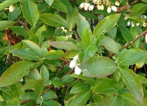 Vertus médicinales des plantes sauvages : Myrtille