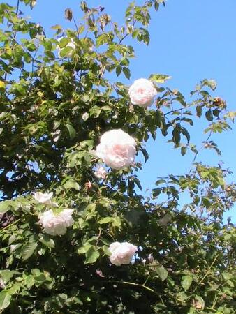 Les rosiers abandonnés ou perdus (2/3)