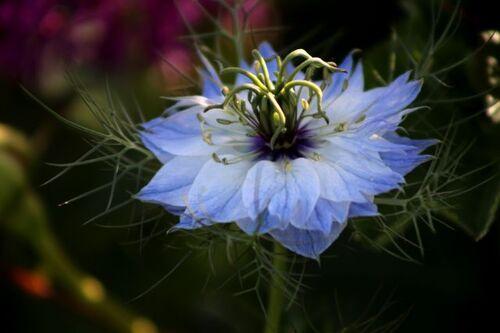 Des compagnes pour mes roses : Nigella damascena