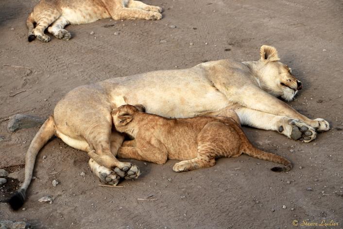 Les lions du Sérengeti
