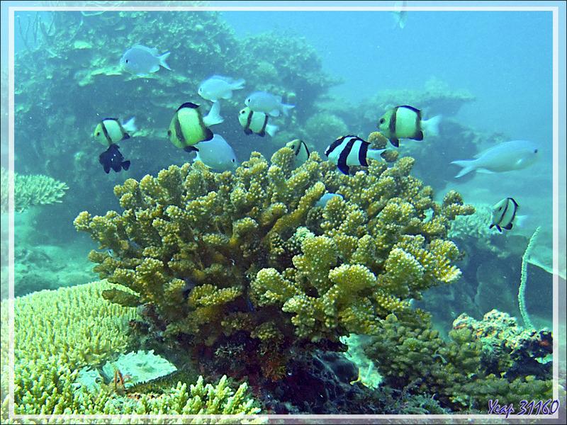 Corail et ses poissons-demoiselles : Demoiselle à trois bandes noires, Demoiselles obscures, Chromis - Spot Sugar Man - Tsarabanjina - Mitsio - Madagascar