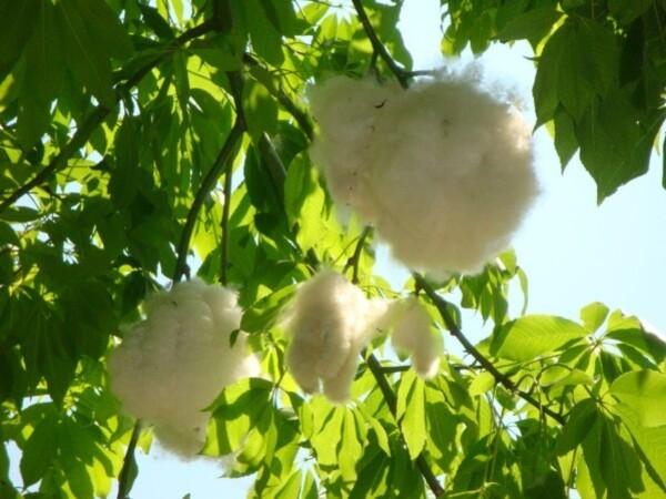 Jardin botanique de Palerme, l'arbre bouteille, fleur 1jpg