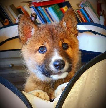Il s'appelle Wandy, un dingo rare ...