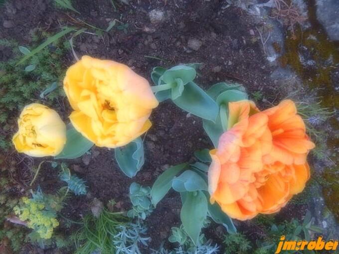 """Jardin: l'éclat du Printemps """" la Tulipe Perroquet """"  blanche"""