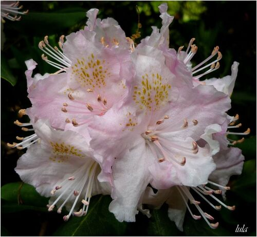Arbres et arbustes en fleurs
