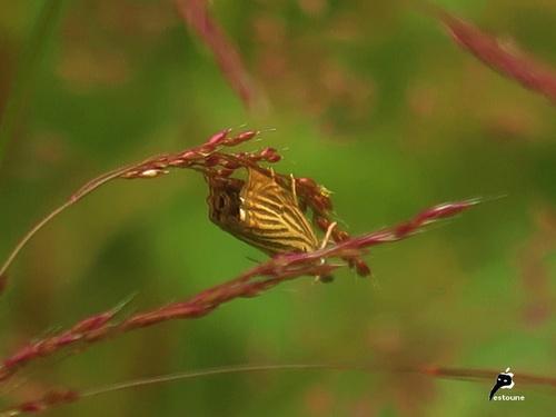 crambus des jardins (Chrysoteuchia culmella)
