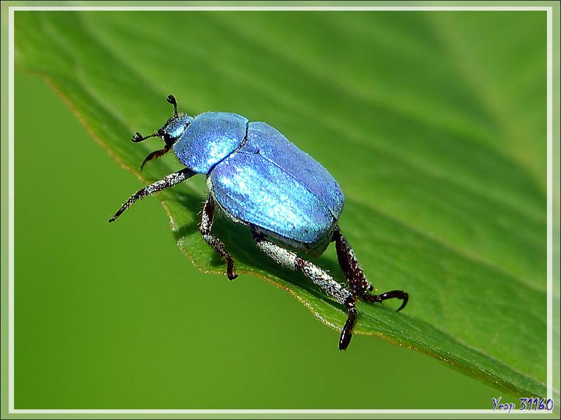 Scarabée Hoplie bleue (Hoplia coerulea) - Aspet - 31