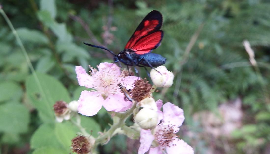 un papillon sur des fraisiers sauvages
