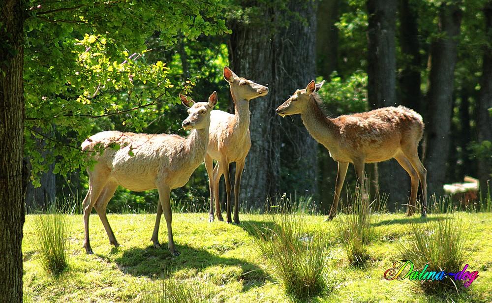 biches et jeunes cerfs