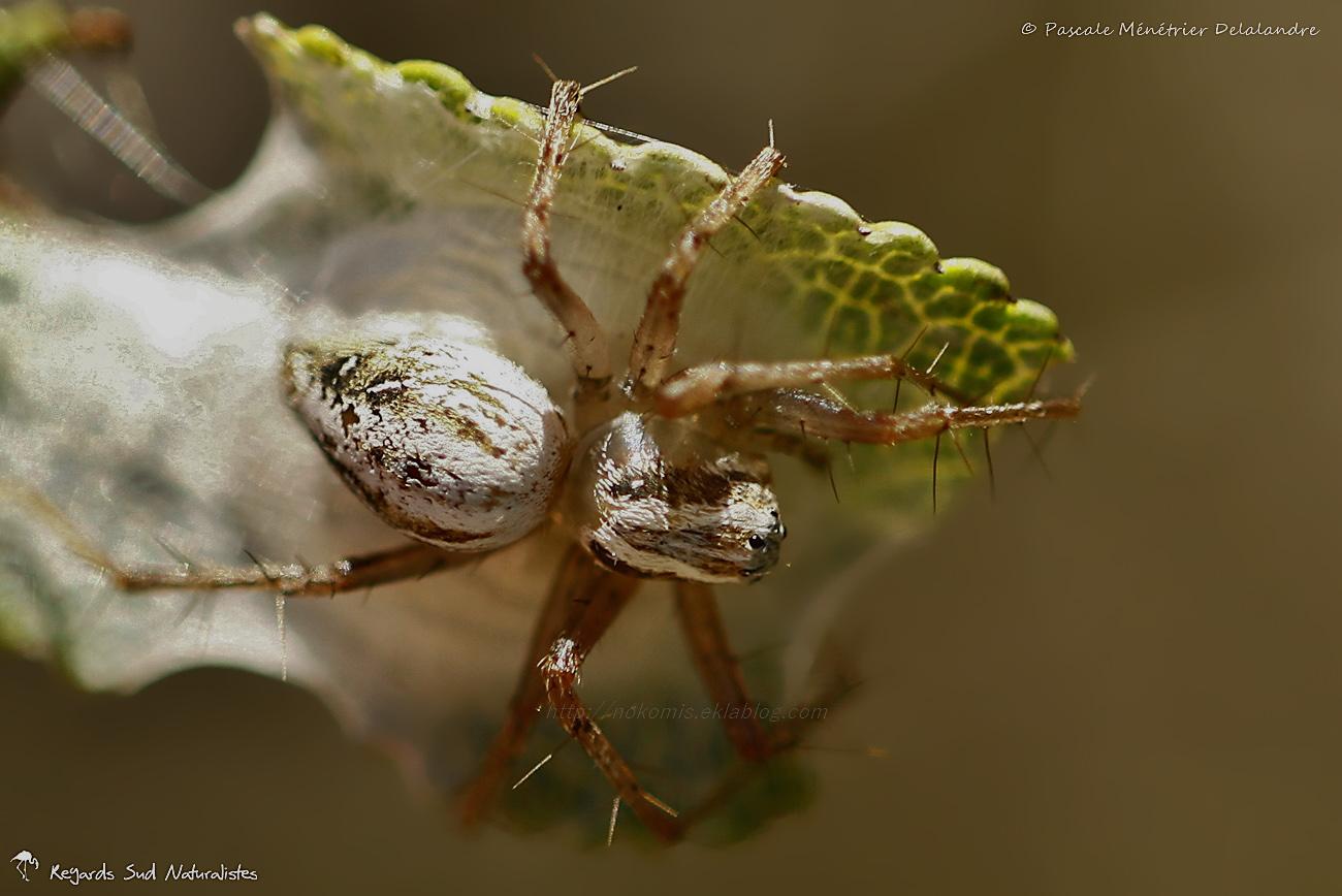 Araignée Lynx  du genre Oxyopes ♀