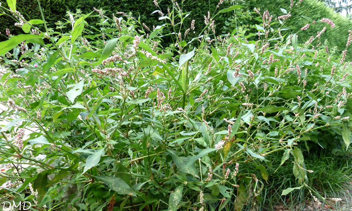 Polygonum persicaria - Persicaria maculosa   -   renouée persicaire