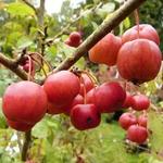 La Feuillerie, suite de la visite...pépinière mela rosa - malus evereste