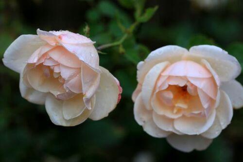 D'une roseraie à un jardin de roses