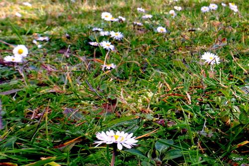 Les fleurs blanches : des pâquerettes
