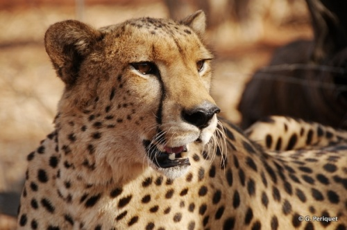 Sylvester, Cheetah Ambassador