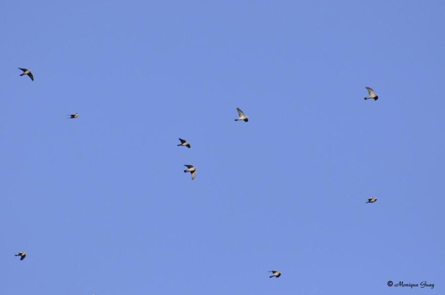pigeons-ramier-1900.jpg