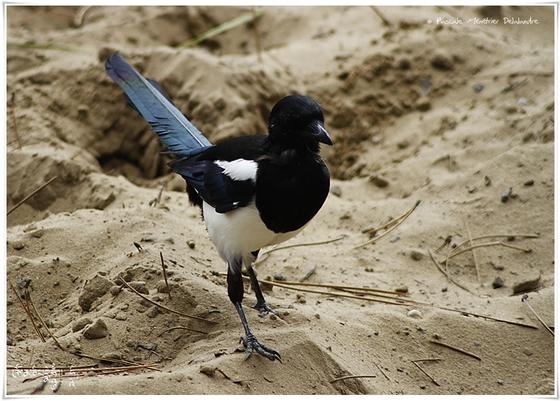 Pie bavarde - Pica pica - Eurasian Magpie