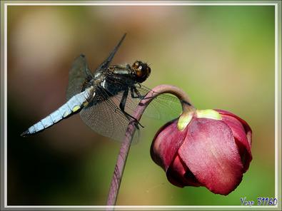 Libellule déprimée,  Broad-bodied chaser dragonfly (Libellula depressa) mâle - Lartigau - Milhas - 31