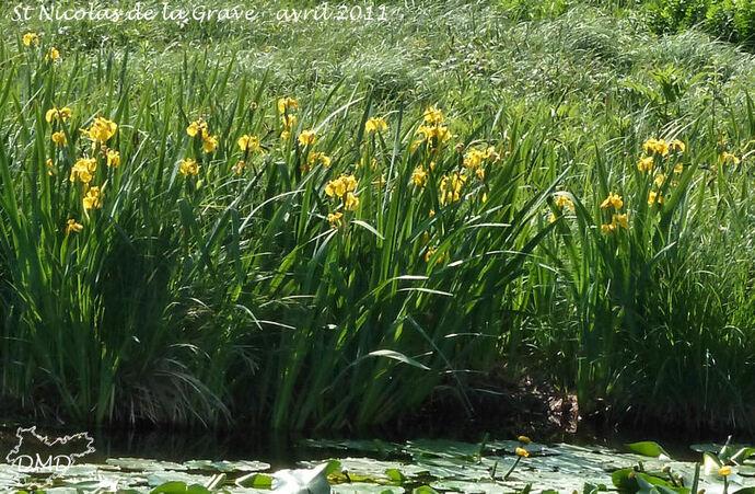 Iris pseudacorus - iris des marais - iris jaune