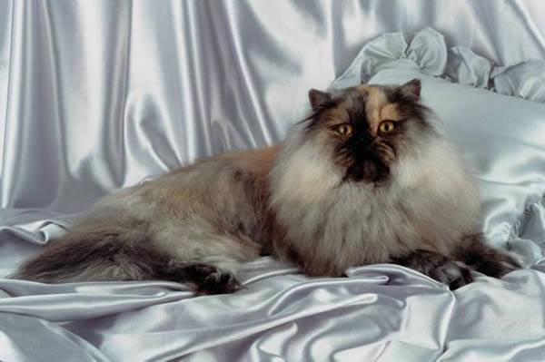 Portrait Du Chat Persan Très Détaillé...  Du Chat Persan