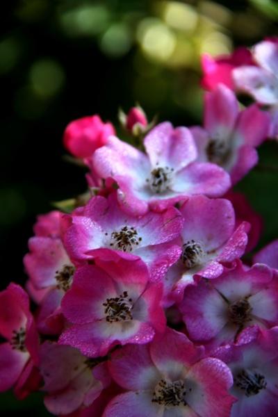 Un bouton, une rose, un rosier : Mozart